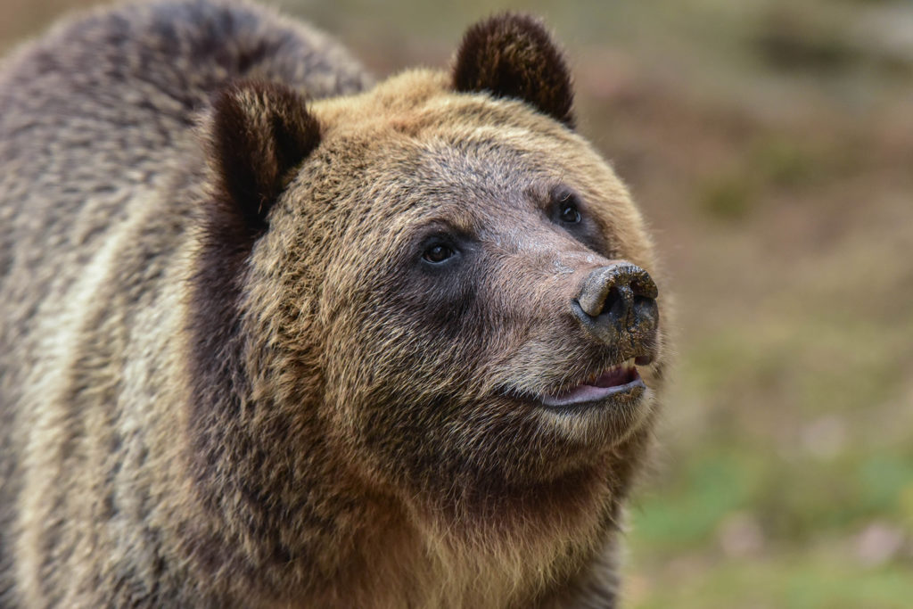 brown bear background