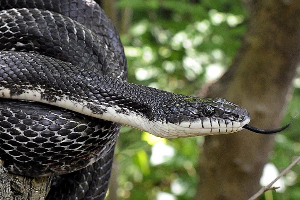 black rat snake background