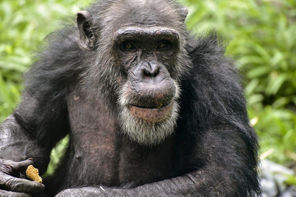 chimp background