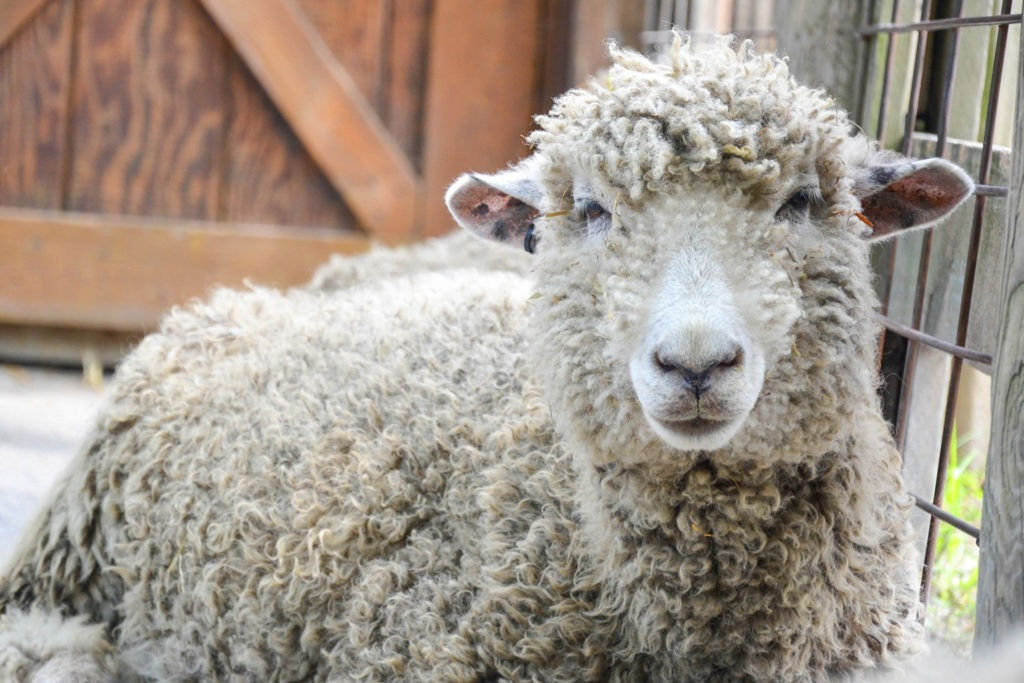 cotswold sheep background