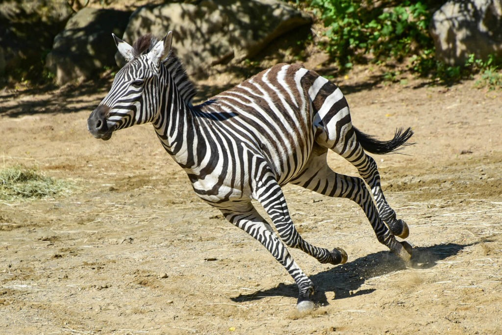 plains zebra background