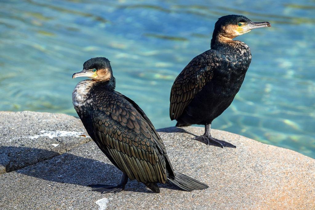 two cormorant birds background