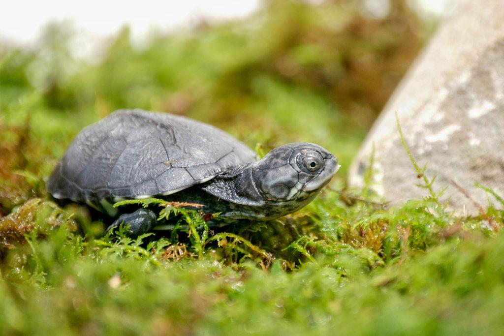 African Mud Turtle background