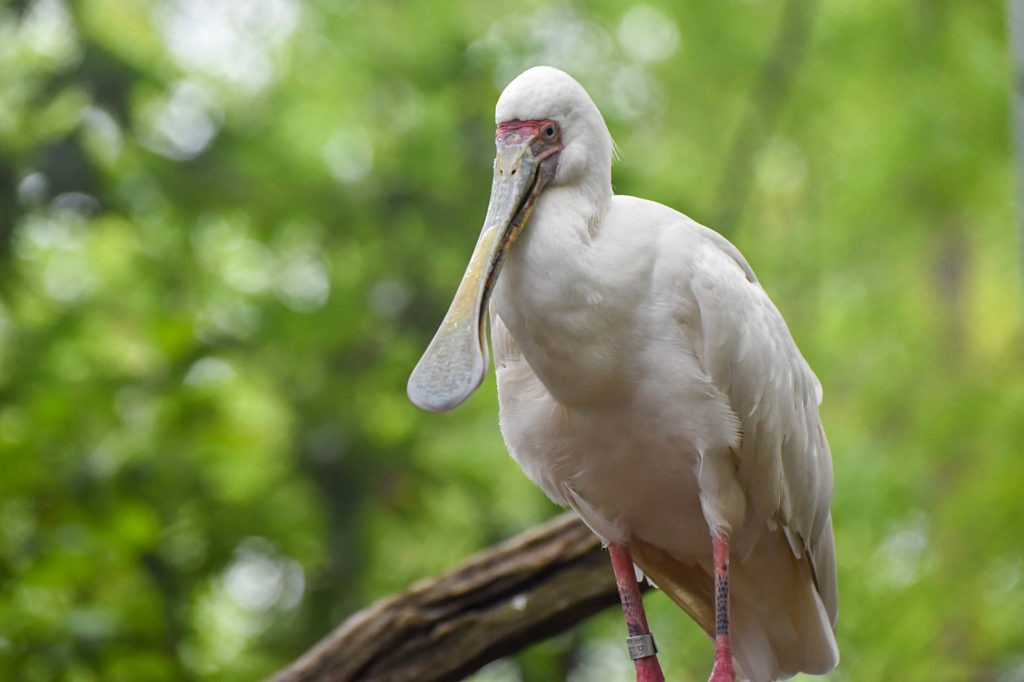 african spoonbill background