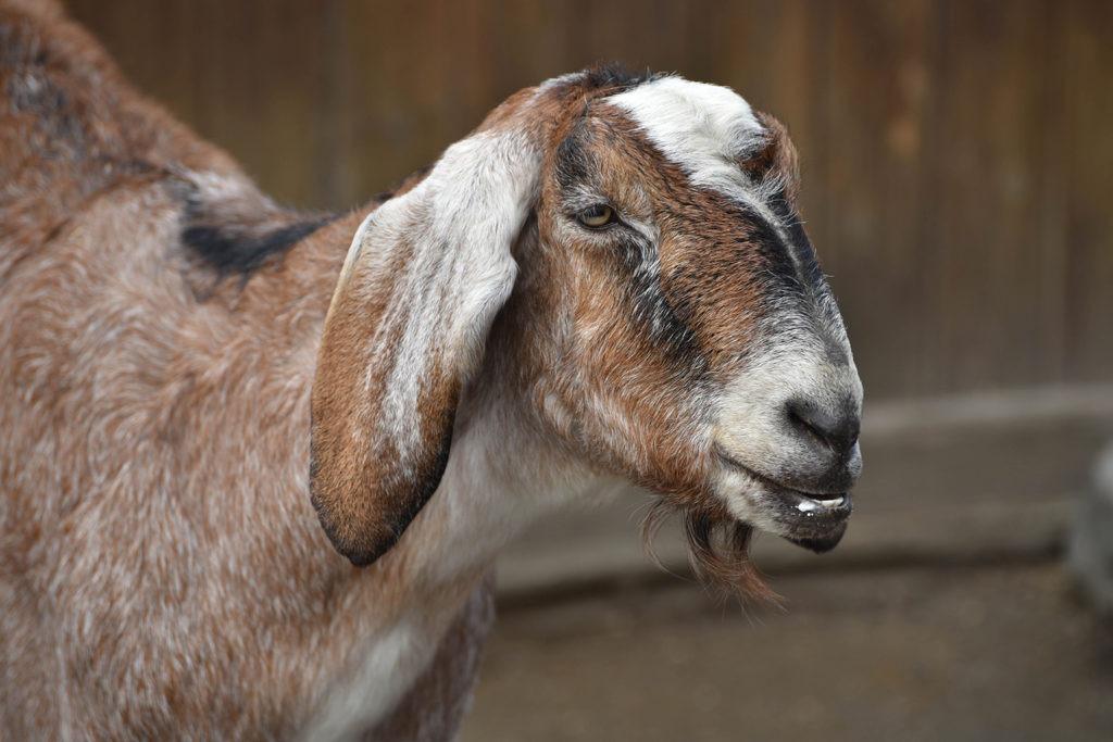 goat image background