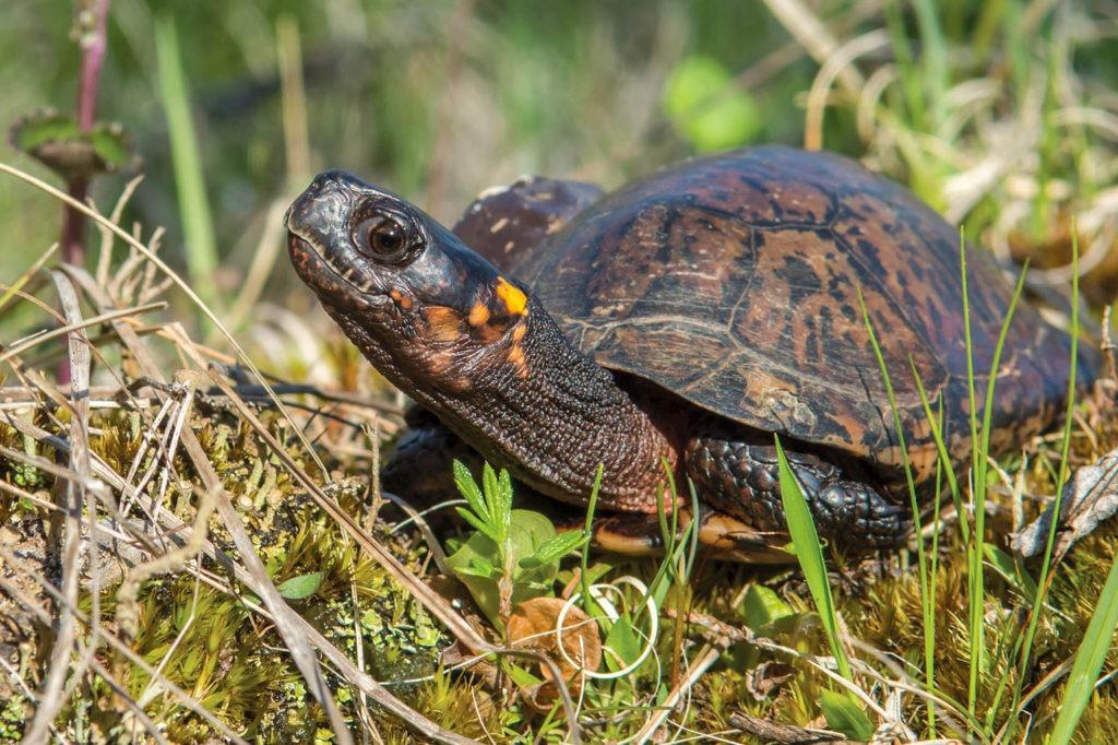bog turtle background