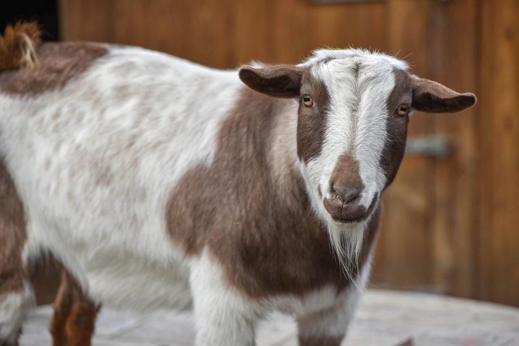 Nigerian Dwarf Goat background
