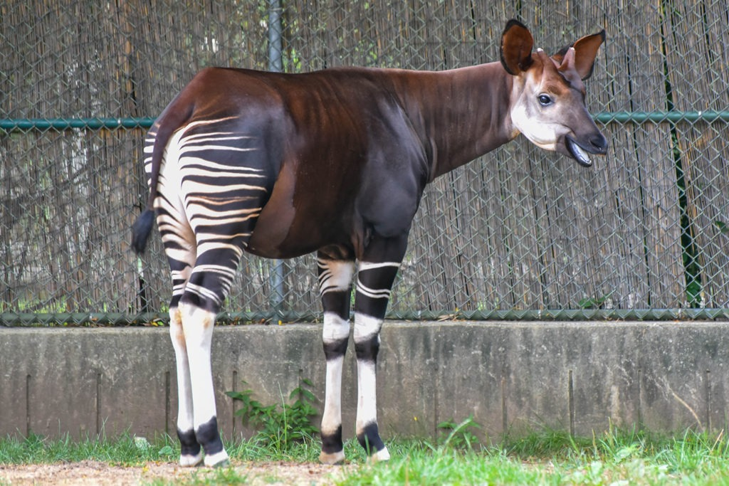 Okapi background