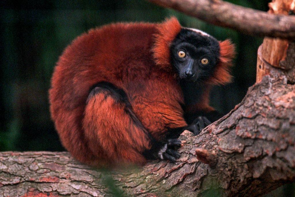 red ruffed lemur background