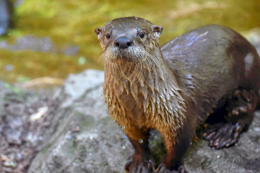 north american river otter background