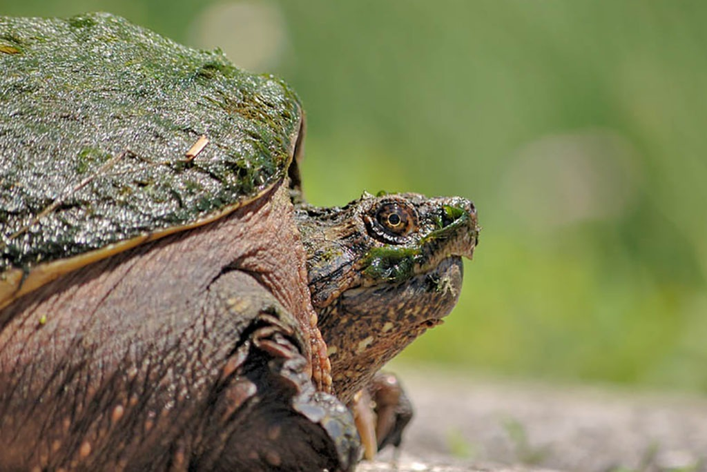 common snapping turtle background