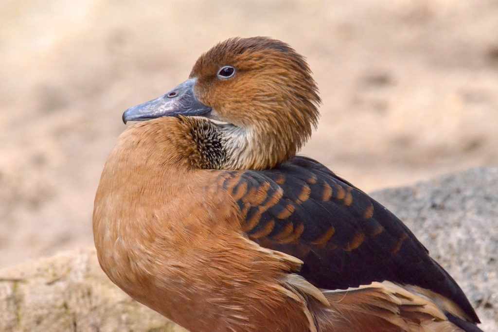 Whistling Duck background