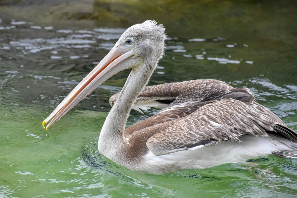 pink backed pelican background