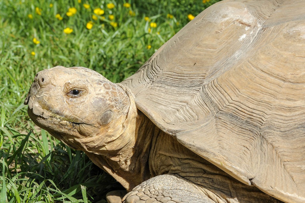 spur thigh tortise background